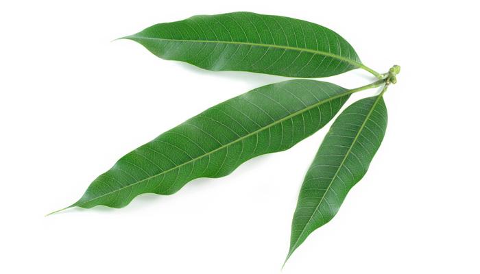 hojas de aguacate