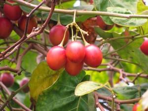 Tomate de árbol o tamarillo. Beneficios y propiedades