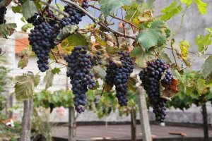 Truco: aprende a congelar uvas
