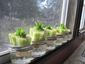 Huerto Urbano: Cómo Plantar Lechugas en casa