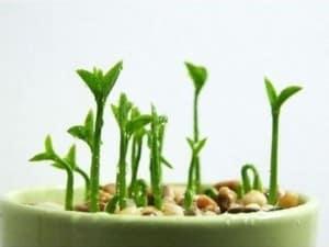 Cómo plantar un limonero y brotar su semilla