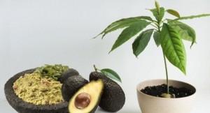 Cómo plantar un Aguacate en casa