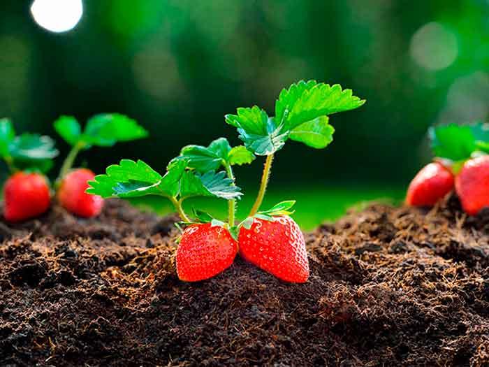 Huerto Urbano: Cómo Plantar Fresas en casa