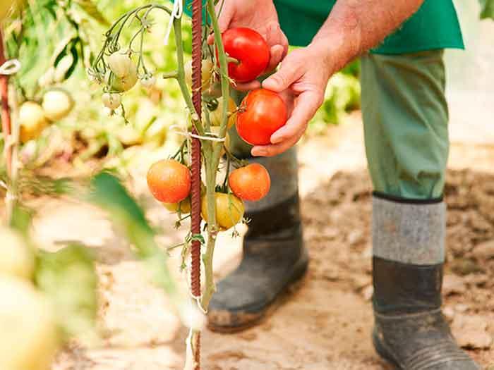 Cómo Entutorar Tomates En El Huerto
