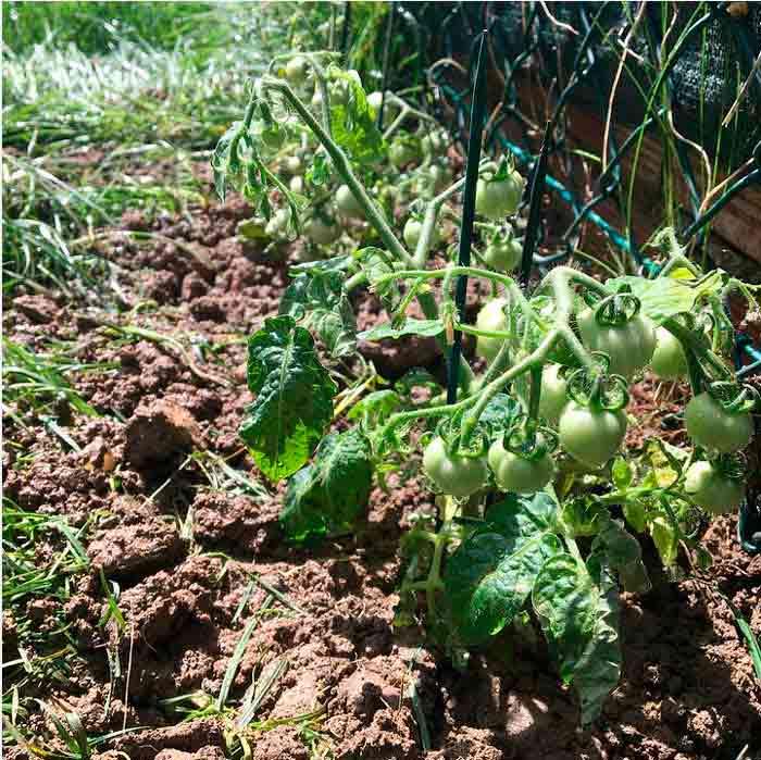 Cómo tener plantas de tomate en 15 días