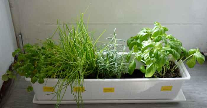 Cómo y por qué plantar romero en casa