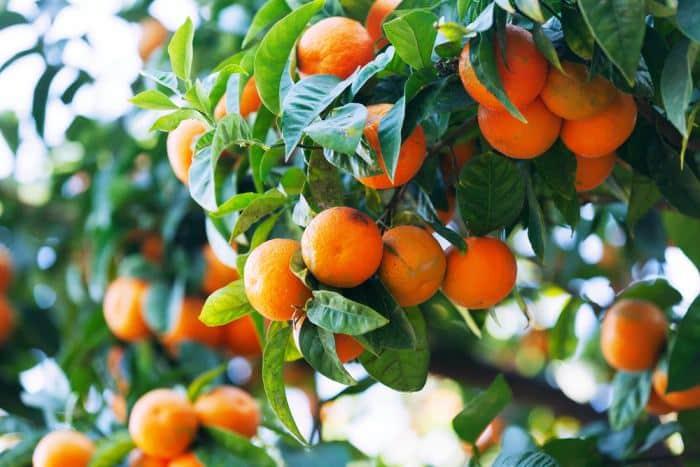 Propiedades de las mandarinas