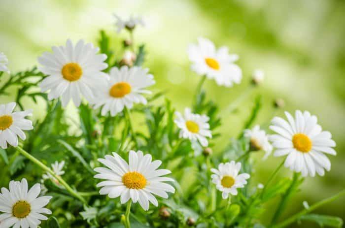 Descubre los 7 beneficios de la manzanilla para la salud