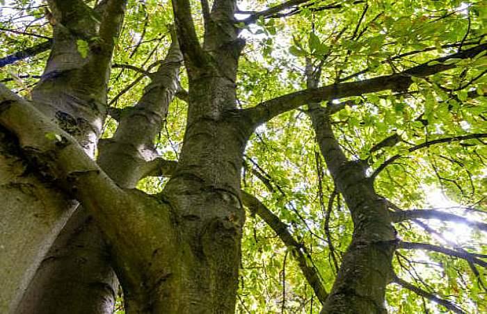árbol castaño