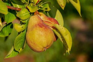 La pera: Propiedades y recetas