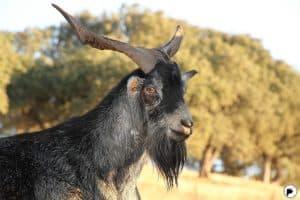 Lasana de carne Cabra Verata con besamel