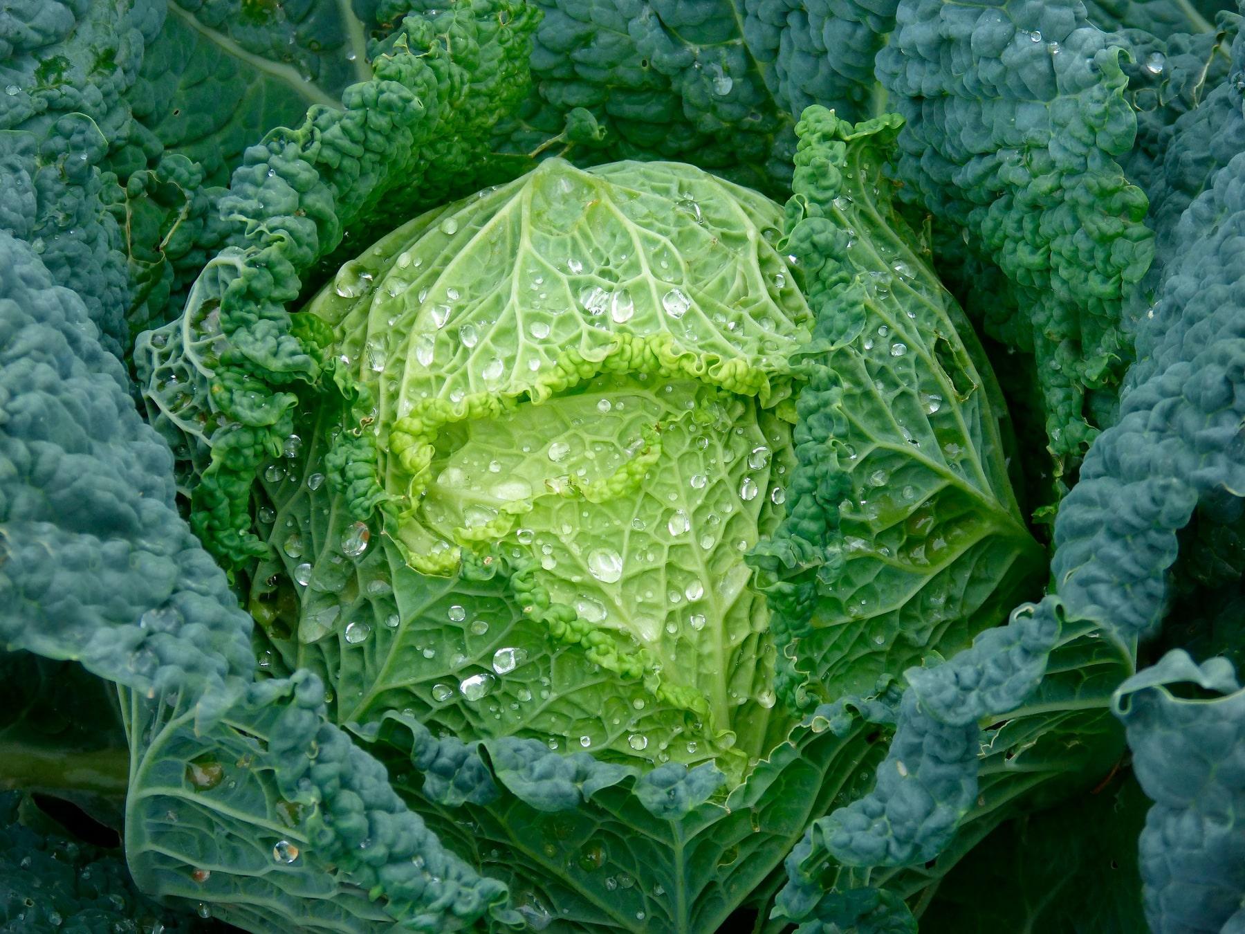 La Col o Repollo: Descubre sus beneficios nutricionales
