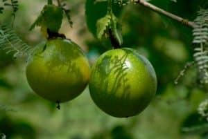 Maracuya Conoce sus propiedades nutricionales y usos culinarios