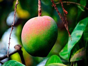 Mango en árbol