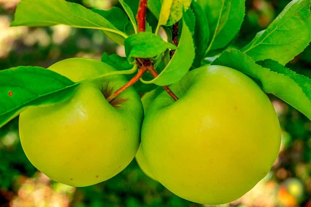 Manzanas verdes en árbol