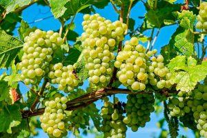 Uvas en viñedo para recolectar en septiembre