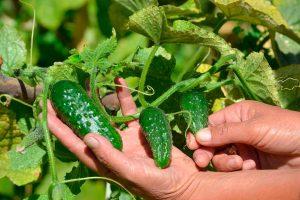 Pepinos, frutas y verduras ecológicas