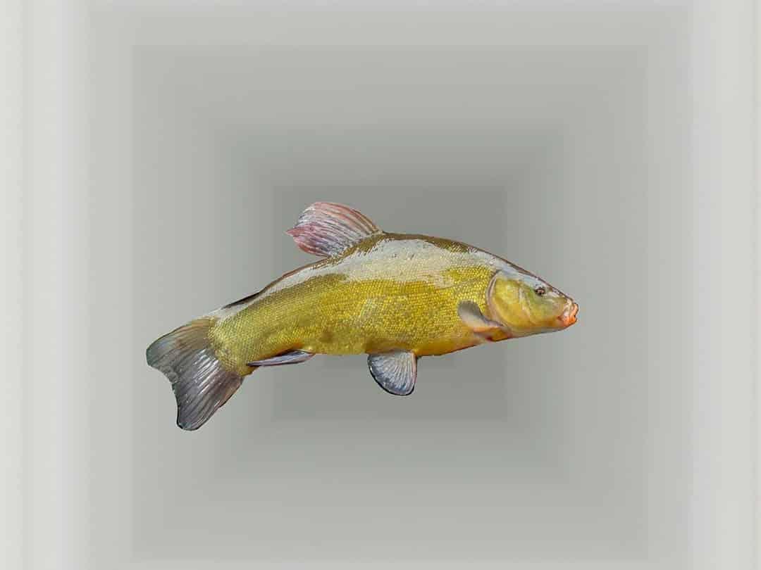 Tenca, pescado de río de Extramadura y su gastronomía