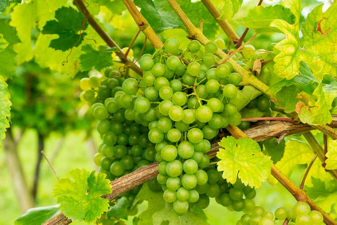 Uvas en viñedo para la elaboración de vinos verdes
