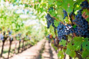 Viñedo de uvas tintas