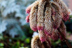 Planta de amaranto