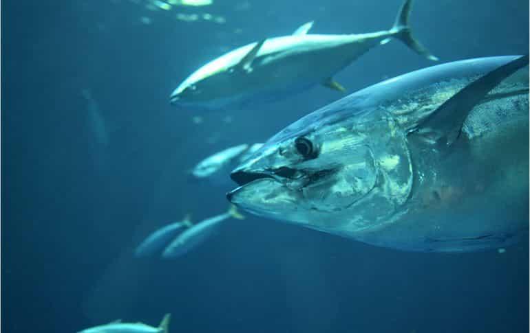 Atún rojo: cómo se pesca, propiedades y usos en la cocina