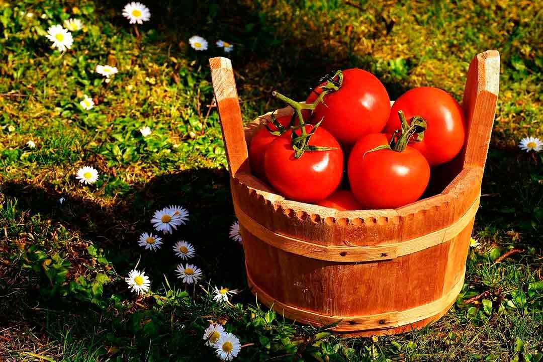 Cesta de tomates